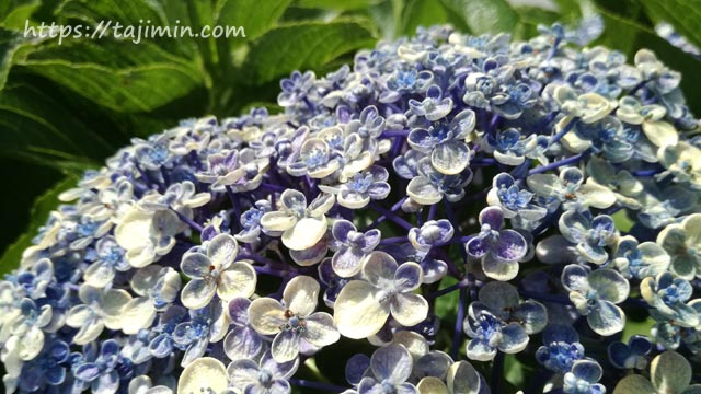 多治見修道院の紫陽花