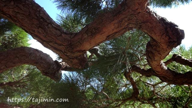 虎渓山 東雲峰 続芳院の松の木