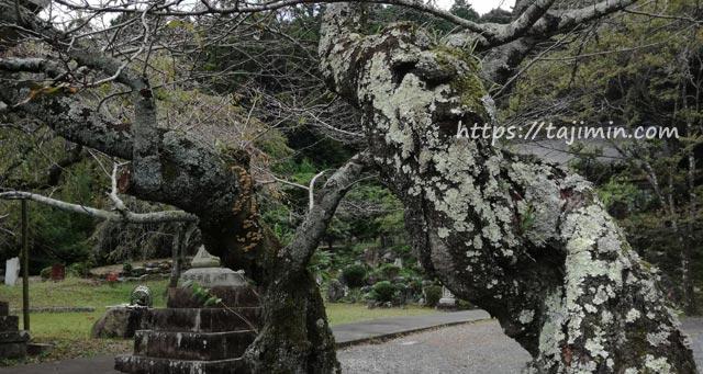 神明神社の桜