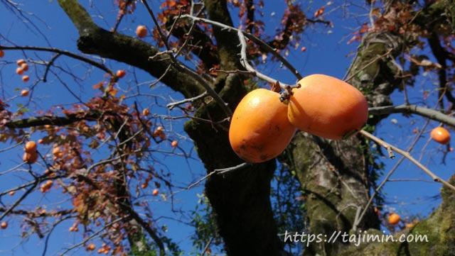 廿原の柿の木