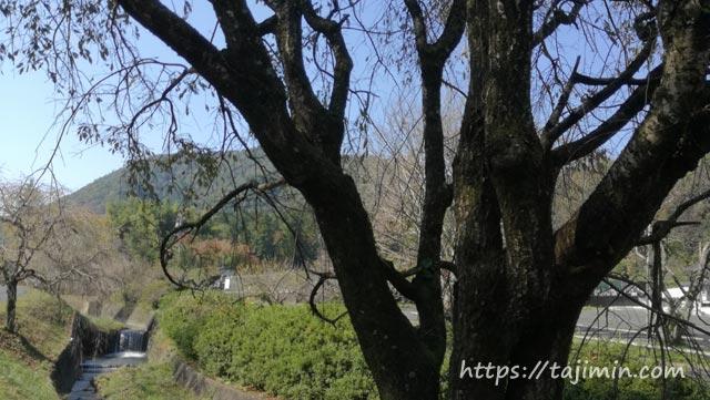 普賢寺前のしだれ桜