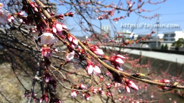 多治見、大原川沿いの桜