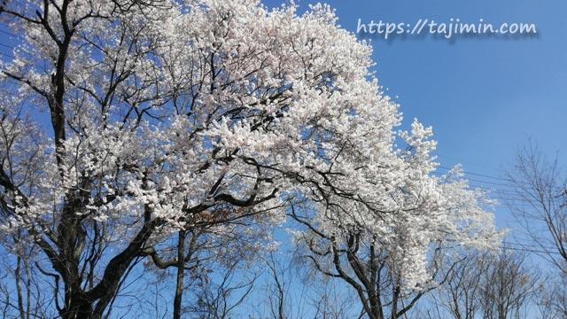 TYK体育館周辺の桜