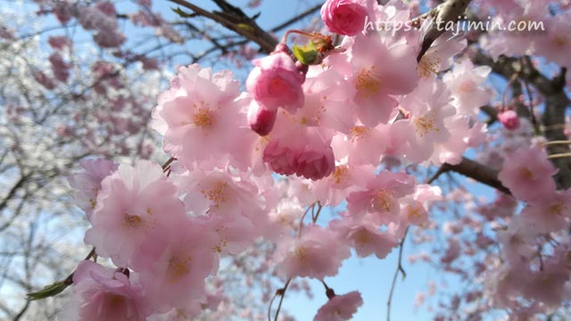 陶彩の径の桜