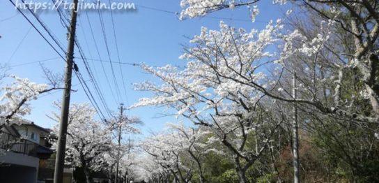 可児市 桜ケ丘~皐ヶ丘の桜並木