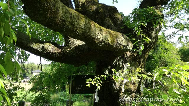 神明神社の大藪のシダレ桜