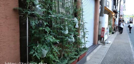 スイカの空中栽培