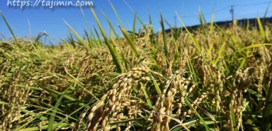 8月の田の風景