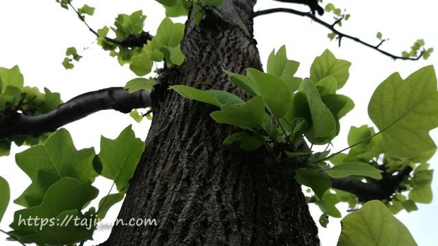 秋なのに街路樹の芽吹き