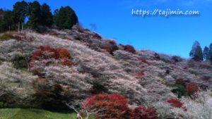豊田市小原の四季桜
