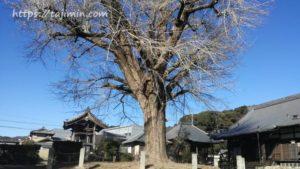 永泉寺のイチョウ