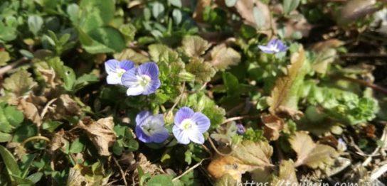 いぬふぐりの花