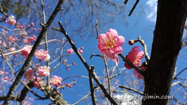 大沢川沿いの梅