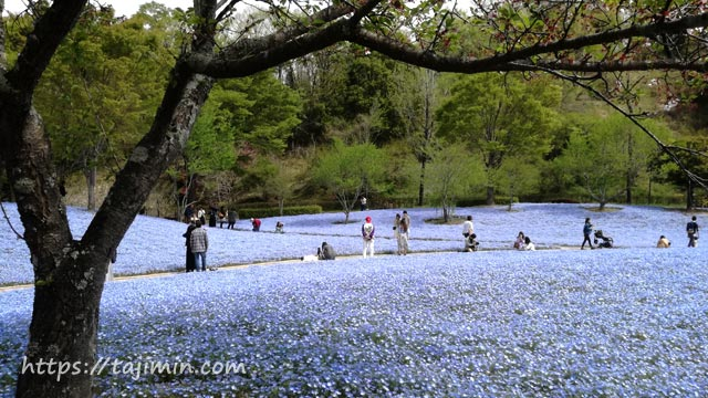花フェスタ記念公園のネモフィラ