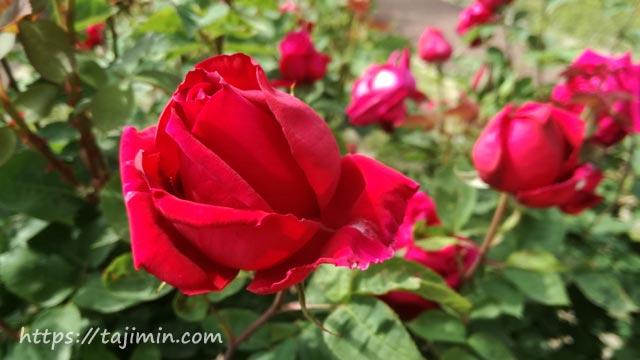 花フェスタ記念公園のバラ