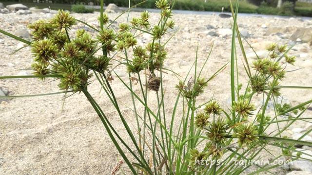 土岐川河川敷の植物