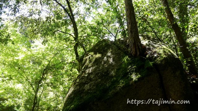 岩から生えた木