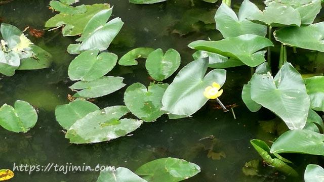 櫻堂薬師(瑞浪市)亀池の河骨の花